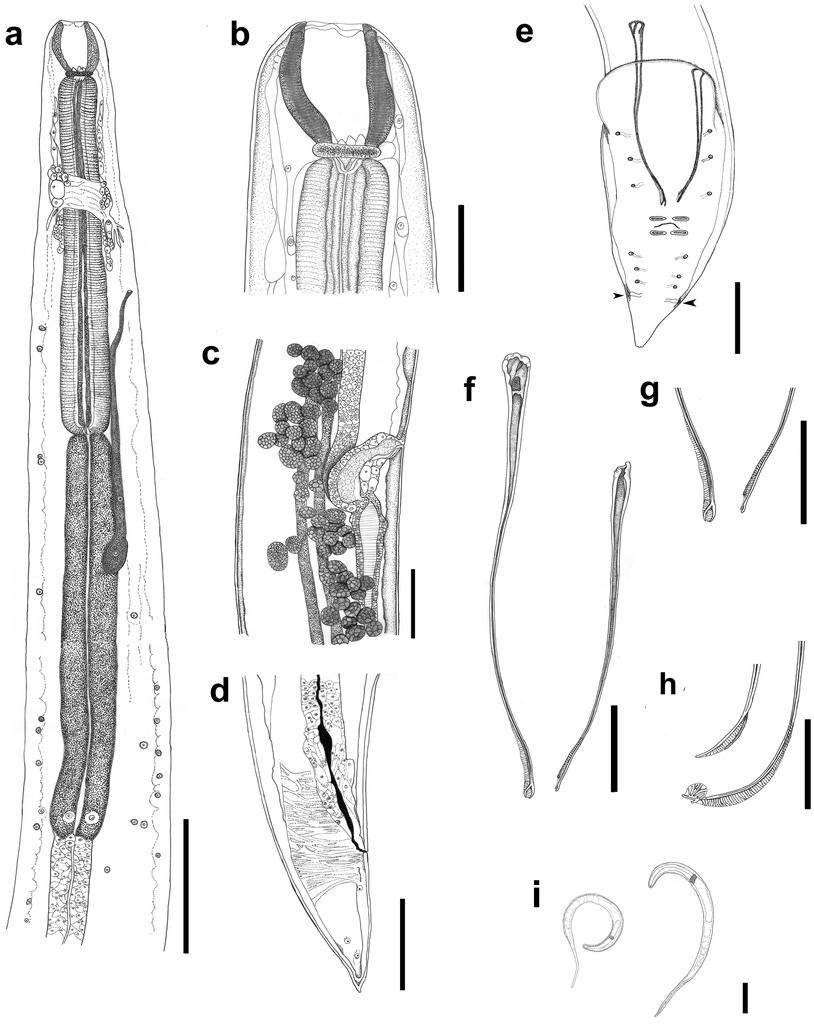 A new species of Procamallanus Baylis, 1923 (Nematoda