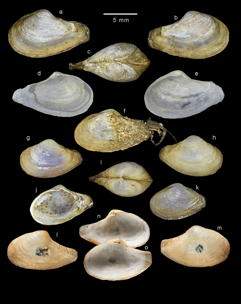 Taxonomy of myid bivalves from fragmented brackish-water habitats in