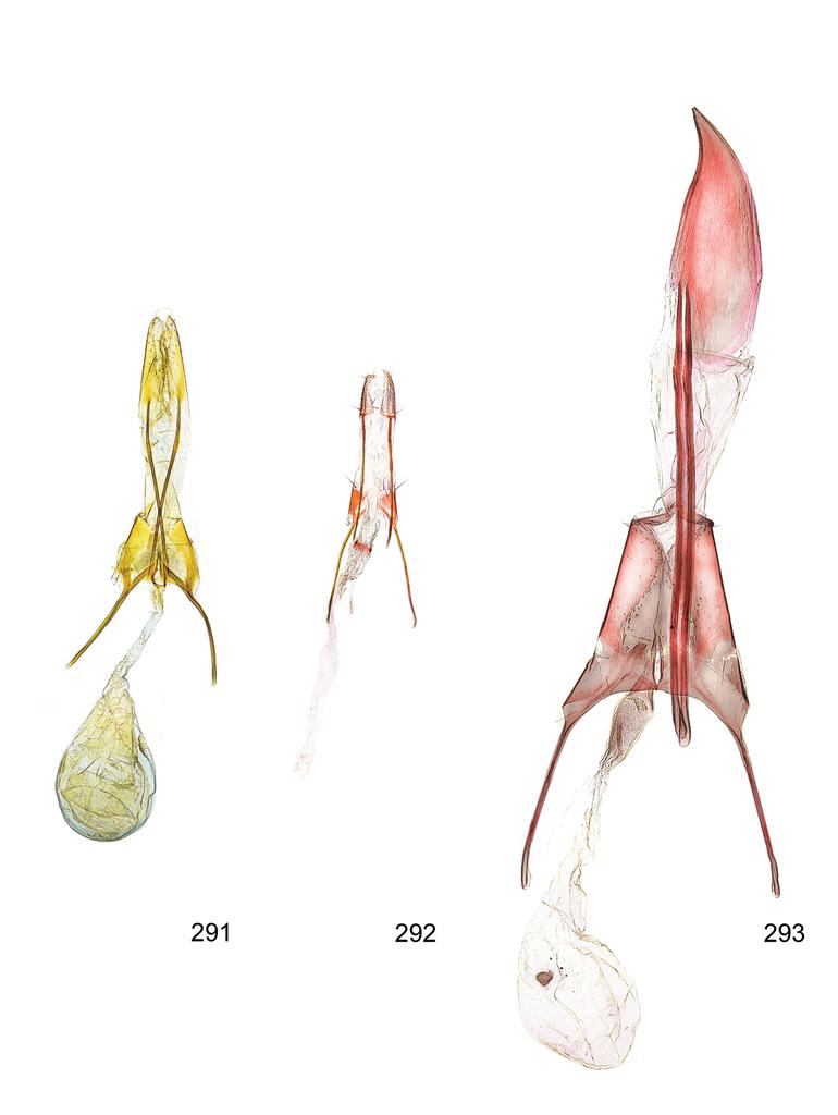 Revision of the genus Megacraspedus Zeller, 1839, a