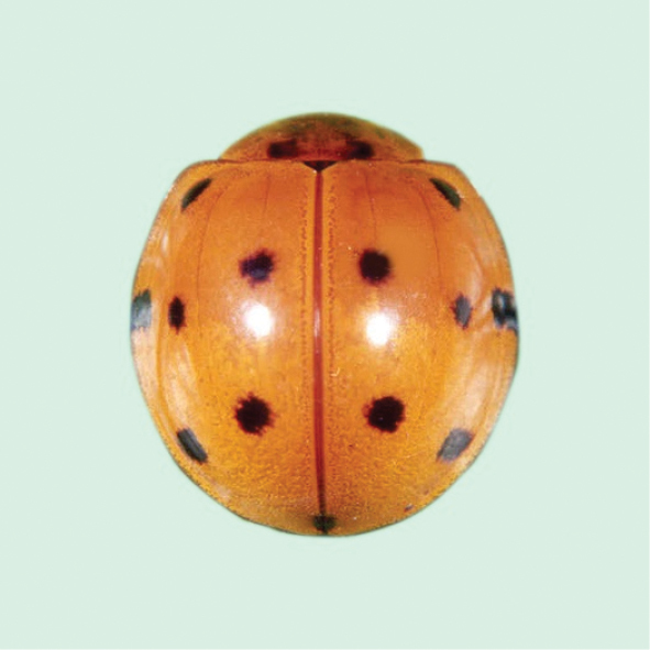 An annotated checklist of Coccinellidae with four new