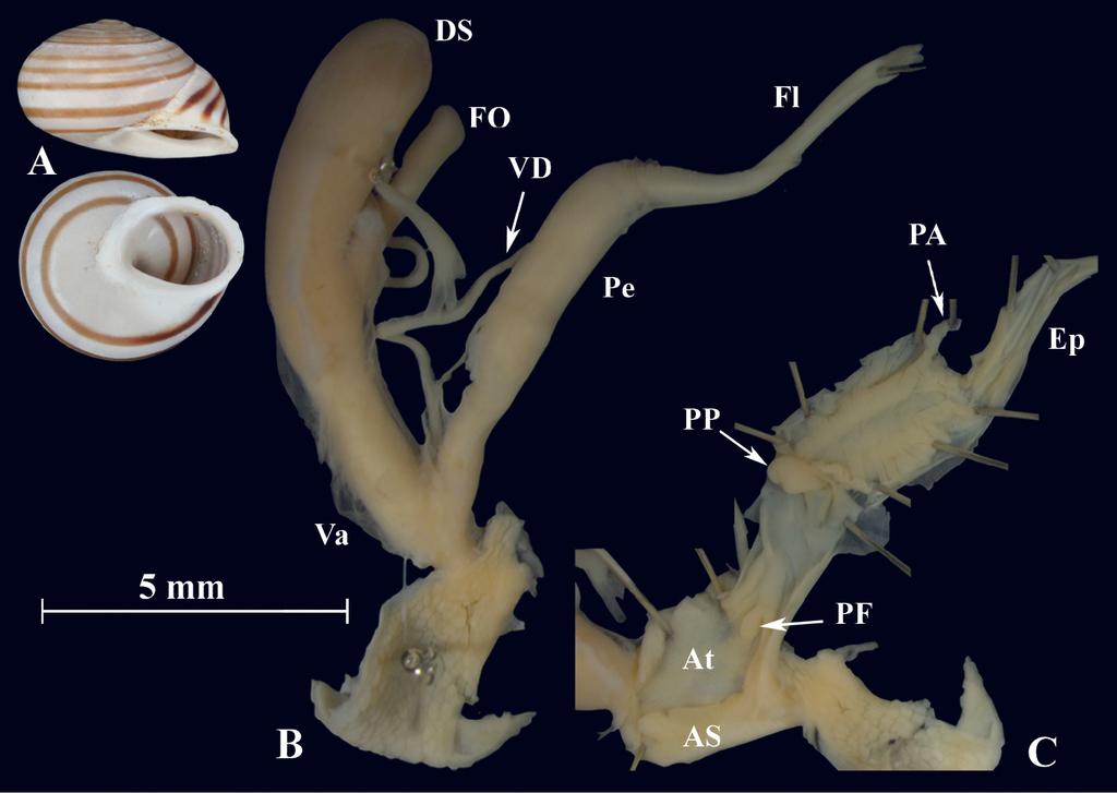 sediment pe penis atașament uriaș al penisului