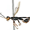 Descriptions of a new species of <i>Foenatopus</i> Smith from China and the male of <i>Parastephanellus brevicoxalis</i> (Hymenoptera, Stephanidae)