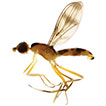 Eight new species of <i>Strongylophthalmyia</i> Heller from Vietnam with a key to species from Vietnam and neighbouring countries (Diptera, Strongylophthalmyiidae)