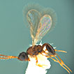 A new species of <i>Calogalesus</i> Kieffer from China (Hymenoptera, Diapriidae) with a key to World species