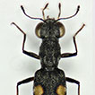 Genetic variability of two ecomorphological forms of <i>Stenus</i> Latreille, 1797 in Iran, with notes on the infrageneric classification of the genus (Coleoptera, Staphylinidae, Steninae)