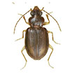 Taxonomic review of New World Tachyina (Coleoptera, Carabidae): descriptions of new genera, subgenera, and species, with an updated key to the subtribe in the Americas