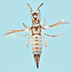 <i>Siamothrips balteus</i>, a new species of <i>Scirtothrips</i> genus-group from China (Thysanoptera, Thripidae)