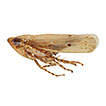 A new species of the leafhopper genus <i>Maiestas</i> Distant from Australia (Hemiptera, Cicadellidae, Deltocephalinae, Deltocephalini)