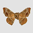 Revision of the genus <i>Tarema</i> Schaus, 1896 (Lepidoptera, Mimallonoidea, Mimallonidae) with the description of a new species from southeastern Brazil