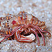 "Discovery of a new species of hermit crab of the genus <i>Pylopaguropsis</i> Alcock, 1905 from the Caribbean: ""den commensal"" or ""cleaner""? (Crustacea, Anomura, Paguridae)"