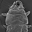 Myobiid mites (Trombidiformes, Myobiidae) of the golden bat <i>Mimon cozumelae</i> from Mexico. Description of the male and tritonymph of <i>Ioanella mimon</i> and new records of <i>Eudusbabekia mimon</i>