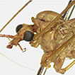 Two new species of Tipula (Vestiplex) from Southern China based on morphological and molecular data, with redescription of Tipula (Vestiplex) bicalcarata (Diptera, Tipulidae, Tipulinae)