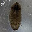 <i>Helobdella blinni</i> sp. n. (Hirudinida, Glossiphoniidae) a new species inhabiting Montezuma Well, Arizona, USA