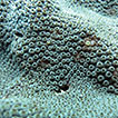 <i>Cyphastrea salae</i>, a new species of hard coral from Lord Howe Island, Australia (Scleractinia, Merulinidae)