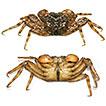 A new species of micro-mangrove crab of the genus <i>Haberma</i> Ng &amp; Schubart, 2002 (Crustacea, Brachyura, Sesarmidae) from Hong Kong