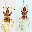 The species of <i>Haplothrips</i> (Thysanoptera, Phlaeothripinae) and related genera recorded from the Hawaiian Islands