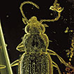 The ground beetle genus <i>Bembidion</i> Latreille in Baltic amber: Review of preserved specimens and first 3D reconstruction of endophallic structures using X-ray microscopy (Coleoptera, Carabidae, Bembidiini)
