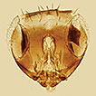 The <i>Encarsia flavoscutellum</i>-group key to world species including two new species from China (Hymenoptera, Aphelinidae)