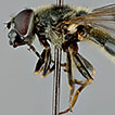 Taxonomic review of the Palaearctic species of the <i>Cheilosia caerulescens</i>-group (Diptera, Syrphidae)