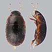 Revision of the Neotropical water scavenger beetle genus <i>Tobochares</i> Short &amp; García, 2007 (Coleoptera, Hydrophilidae, Acidocerinae)