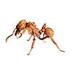 Revision of the fungus-farming ant genus <i>Sericomyrmex</i> Mayr (Hymenoptera, Formicidae, Myrmicinae)