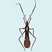 First description of the male and redescription of the female of <i>Parahiranetis salgadoi</i> Gil-Santana (Hemiptera, Reduviidae, Harpactorinae)