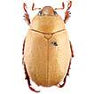 A new cryptic species and review of the east-Andean leaf chafer genus <i>Mesomerodon</i> Ohaus, 1905 (Coleoptera, Scarabaeidae, Rutelinae)