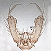 <i>Aedes nigrinus</i> (Eckstein, 1918) (Diptera, Culicidae), a new country record for England, contrasted with <i>Aedes sticticus</i> (Meigen, 1838)