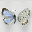 What Azure blues occur in Canada? A re-assessment of <i>Celastrina</i> Tutt species (Lepidoptera, Lycaenidae)
