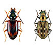 A DNA barcode library for ground beetles (Insecta, Coleoptera, Carabidae) of Germany: The genus <i>Bembidion</i> Latreille, 1802 and allied taxa