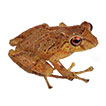 Two new species of frogs of the genus <i>Pristimantis</i> from Llanganates National Park in Ecuador with comments on the regional diversity of Ecuadorian <i>Pristimantis</i> (Anura, Craugastoridae)