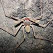 Description of a new troglomorphic species of <i>Charinus</i> Simon, 1892 from Brazil (Arachnida, Amblypygi, Charinidae)