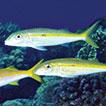 <i>Mulloidichthys flavolineatus flavicaudus</i> Fernandez-Silva &amp; Randall (Perciformes, Mullidae), a new subspecies of goatfish from the Red Sea and Arabian Sea