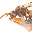 Revision of the genus <i>Paralipsis</i> Foerster, 1863 (Hymenoptera, Braconidae), with the description of two new species