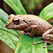 A new species of <i>Pristimantis</i> from southern Ecuador (Anura, Craugastoridae)