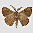 Revisions of the genera <i>Lurama</i> Schaus, 1928 and <i>Ulmara</i> Schaus, 1928 (Lepidoptera, Mimallonoidea, Mimallonidae) with the descriptions of three new <i>Ulmara</i> species and a new genus