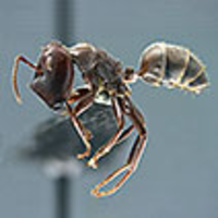 Colobopsis Explodens Sp N Model Species For Studies On Exploding Ants Hymenoptera Formicidae With Biological Notes And First Illustrations Of Males Of The Colobopsis Cylindrica Group