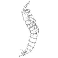 A new species of Psammonitocrella Huys, 2009 (Copepoda