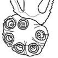 A new polystomatid (Monogenea, Polystomatidae) from the