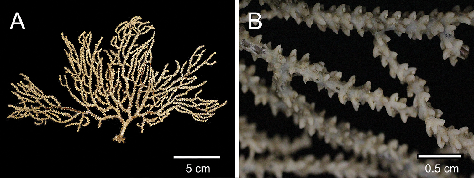 A new Muricea species (Cnidaria, Anthozoa, Octocorallia) from the eastern tropical Pacific.