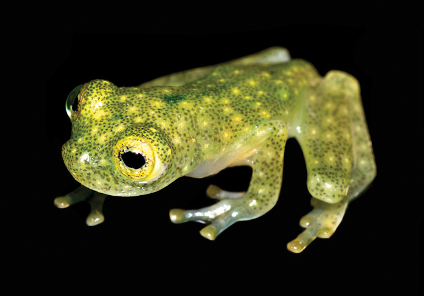 A marvelous new glassfrog from Amazonian Ecuador