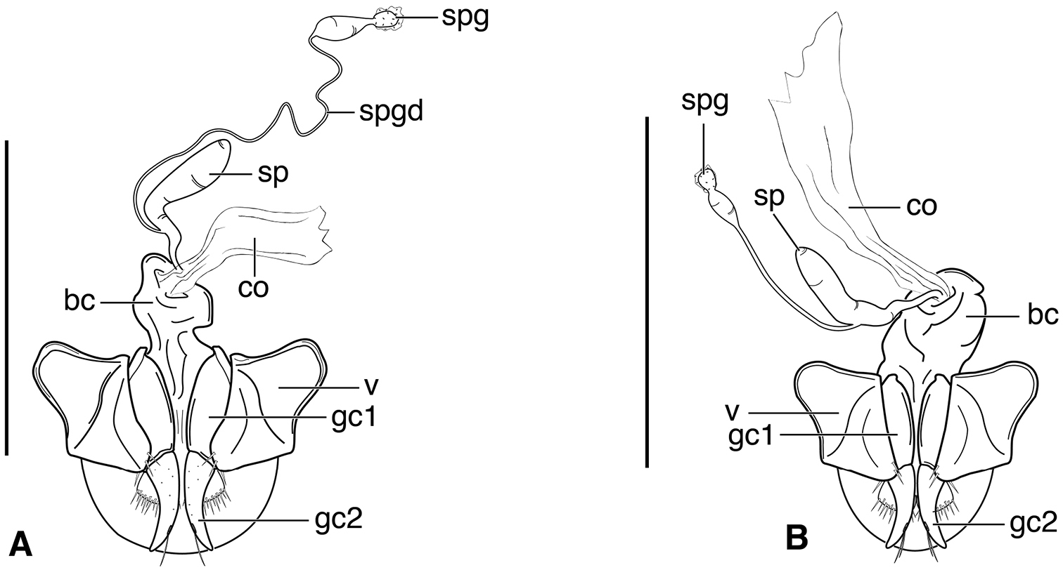 d76f3db6eaa6 Line drawings of female reproductive tract of Selenophorus mundus species  group