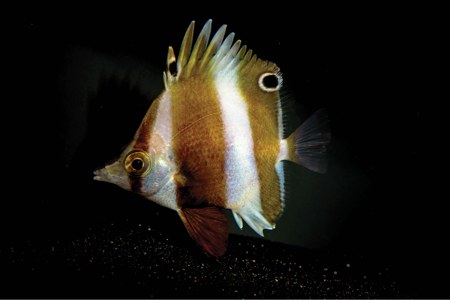 "A new butterflyfish, named for Donald Rumsfeld's notion of an ""unknown unknown"""