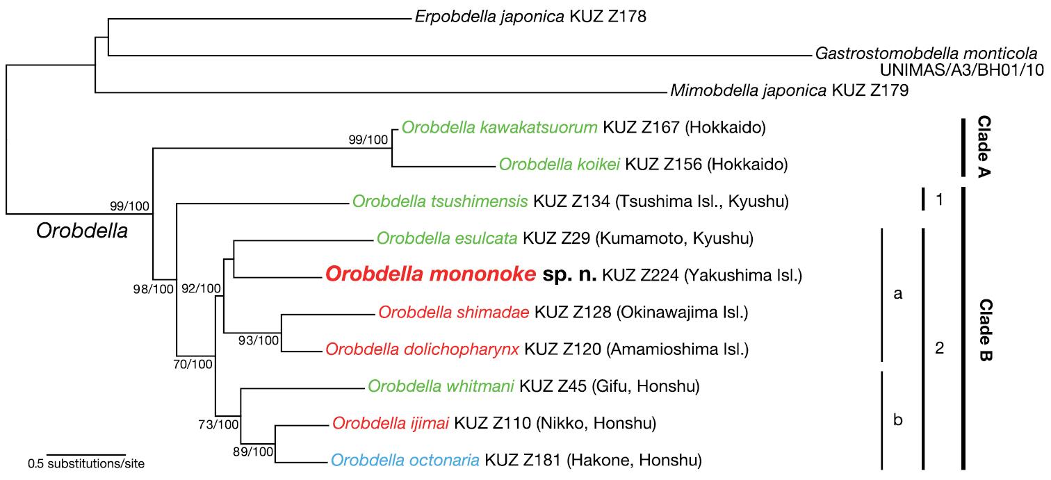 A new sexannulate species of Orobdella (Hirudinida, Arhynchobdellida