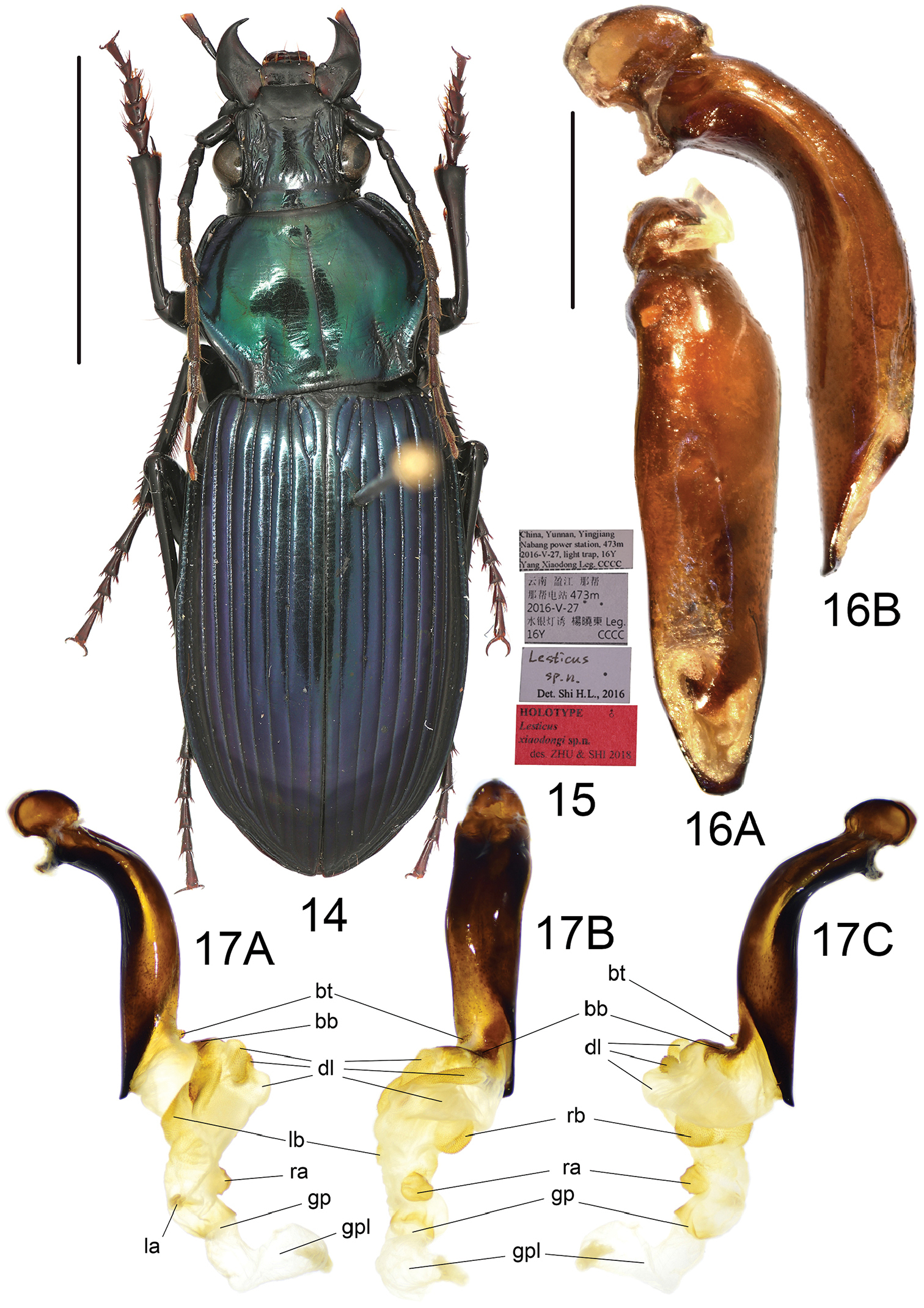 Four new species of Lesticus (Carabidae, Pterostichinae) from ...
