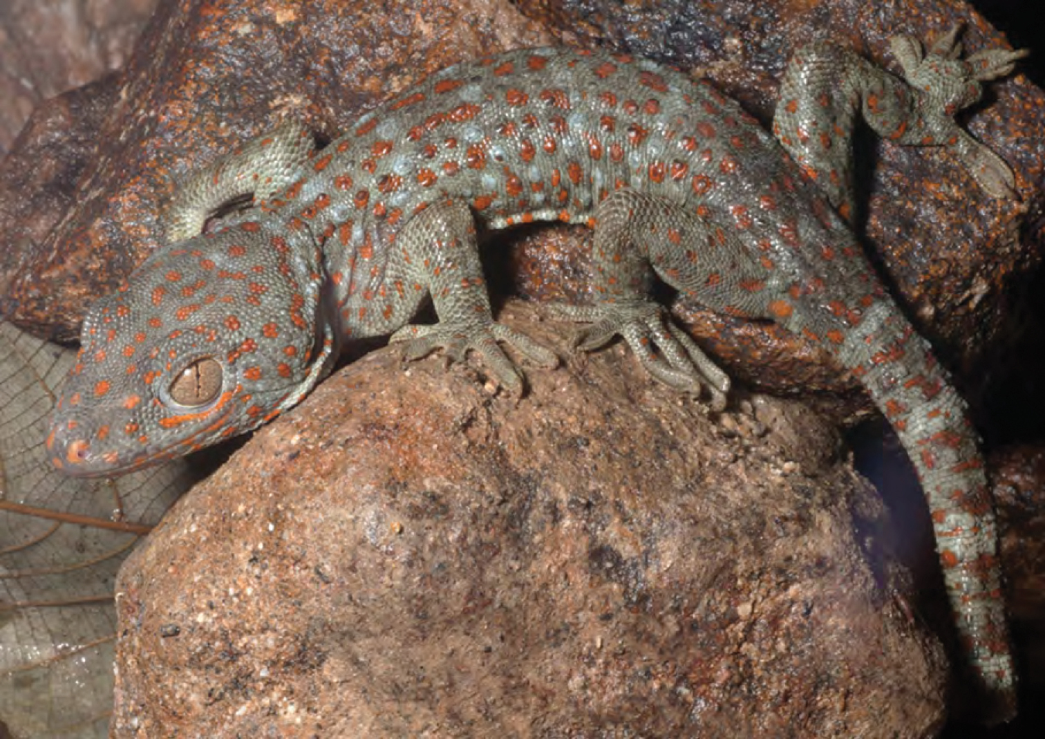 The amphibians and reptiles of Luzon Island, Philippines