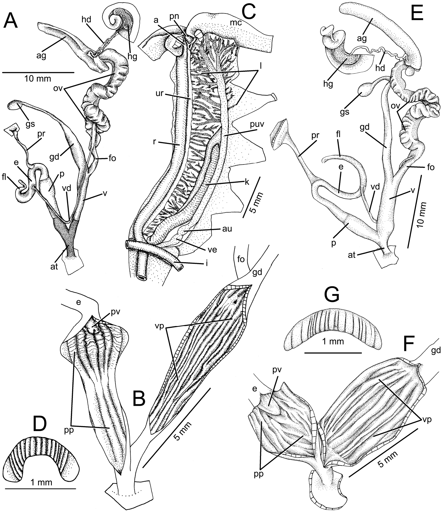 Re-description of the type species of the genera Ganesella ...