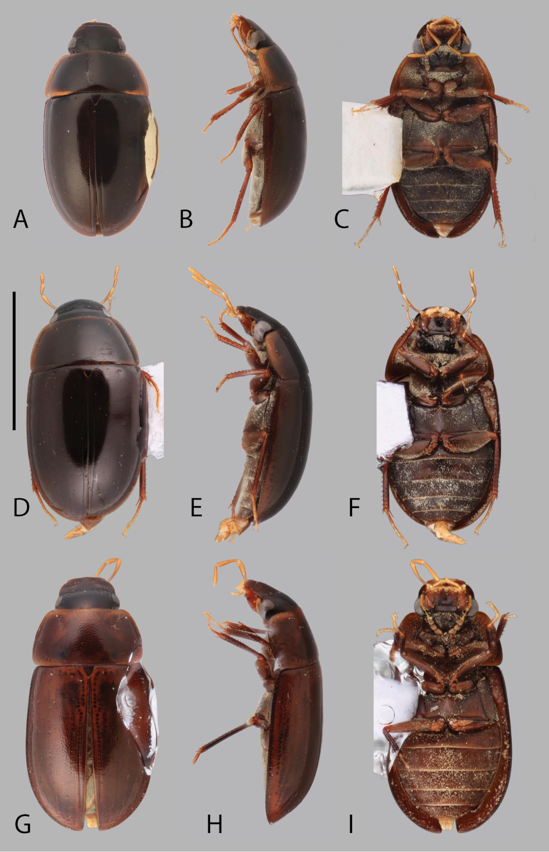Chasmogenus beetles