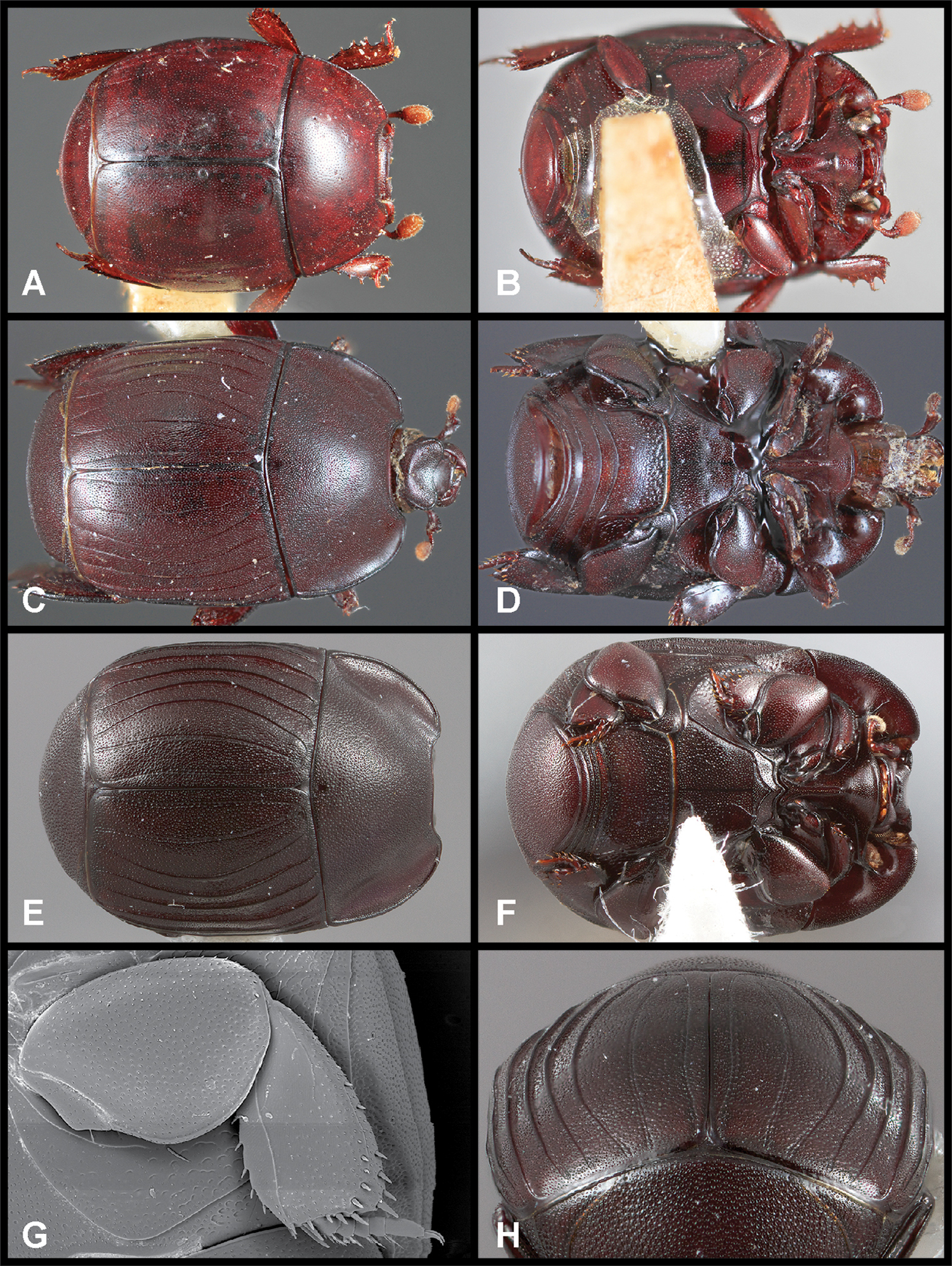 Recognition and revision of the Phelister blairi group Histeridae ...
