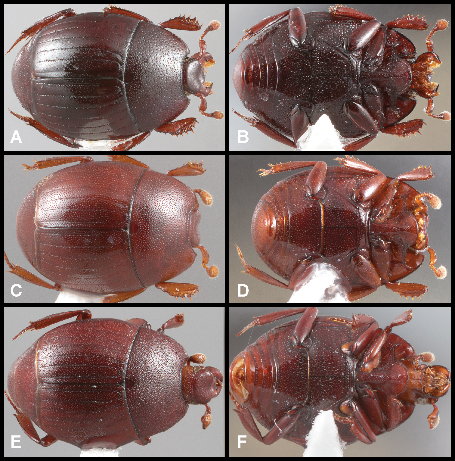 10 Recognition and revision of the Phelister blairi group Histeridae ...